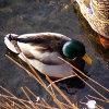 Play Jigsaw: Shallow Duck Online